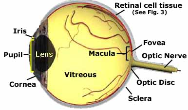 graphic of eyeball structure