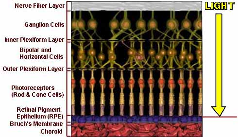 graphic of retinal layers